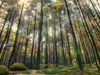 Hutan pinus lerang kelir ambarawa